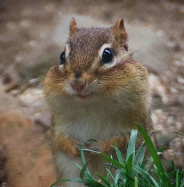 13. This chipmunk who will show you what true fear is.