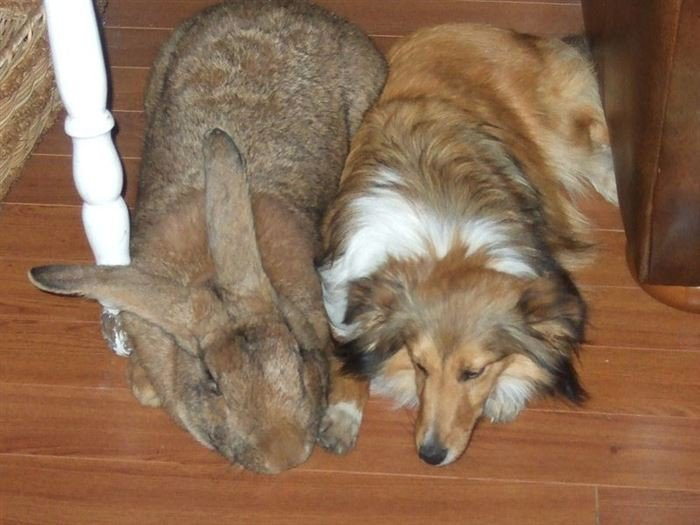 The giant Flemish
