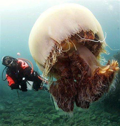 Nomura's Jellyfish