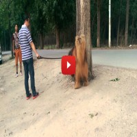 Meet Red Tibetan Mastiff – The Real King (Video)