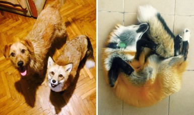After Saving A Fox From A Fur Farm, They Decided To Get Him A Friend So He Wouldn't Feel Lonely