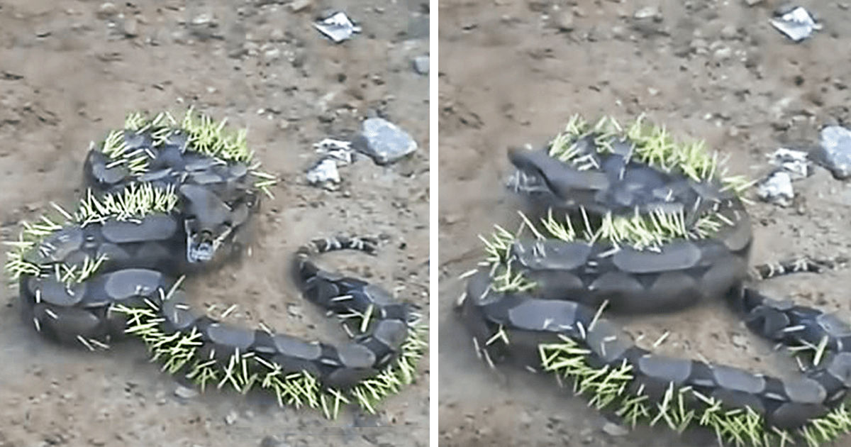 This video was shot in Brazil where the locals saw the snake in pain.