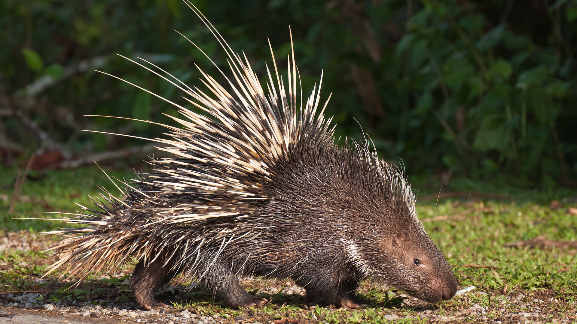 It turns out squeezing a porcupine wasn't a good idea.