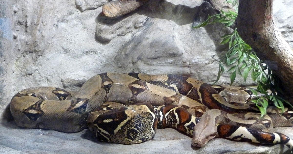 A boa constrictor is counted as the most deadliest of snakes.