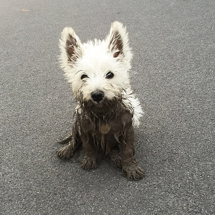 16. The White Dog Finds The Deepest Muddiest Puddle She Can Find And Walks Straight In!