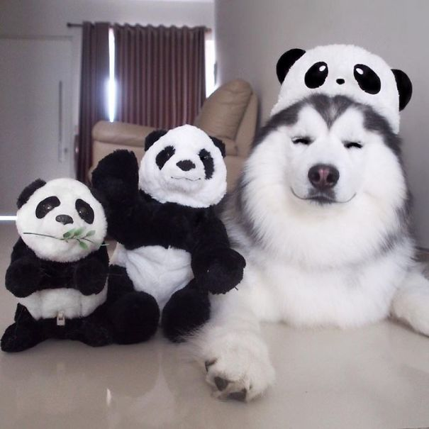 Or, as it says on his Instagram account, he's a husky/panda/seal cross (don't ask us how that works exactly) called Maru, and he's the happiest bundle of fur we've ever seen.