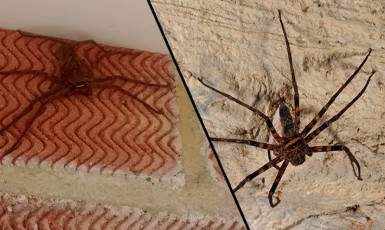 Man's Horror After Finding Huge Australian Spider In England