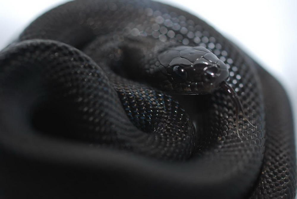 2. Black Rat Snake