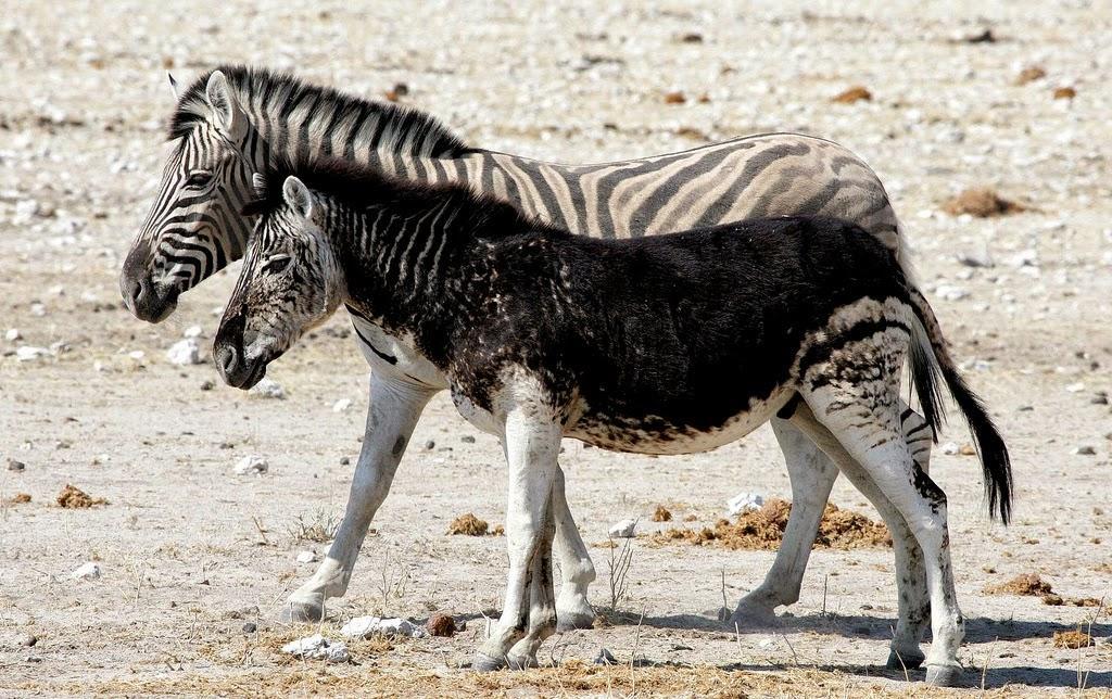 10. Black Zebra