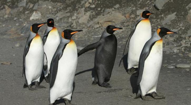 5. Black King Penguin