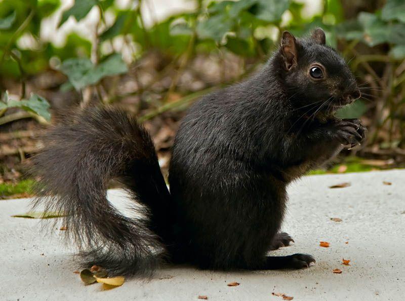 9. Black Squirrel