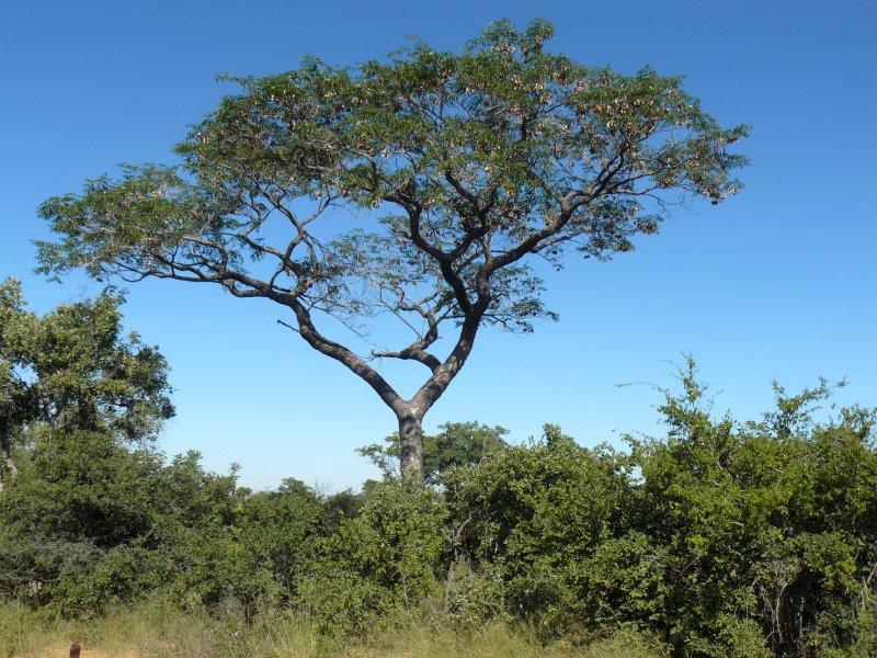 Hopefully the bloodwood tree doesn't go extinct!