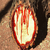 The Bloodwood Tree Actually Looks Like it is Bleeding When You Cut Into It