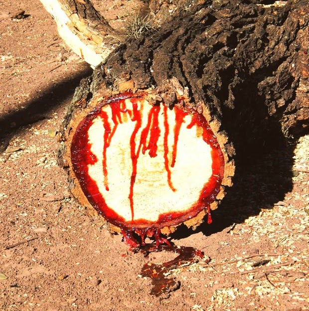 The sap of this tree species is blood red and it looks like something from a horror film.