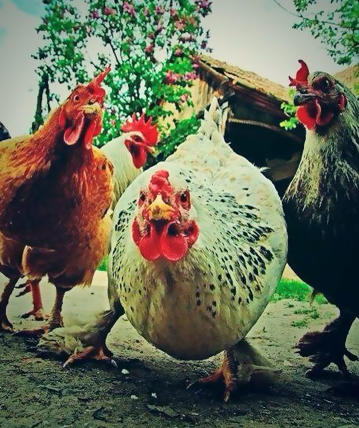 #12 The Aggressive Rock Chickens