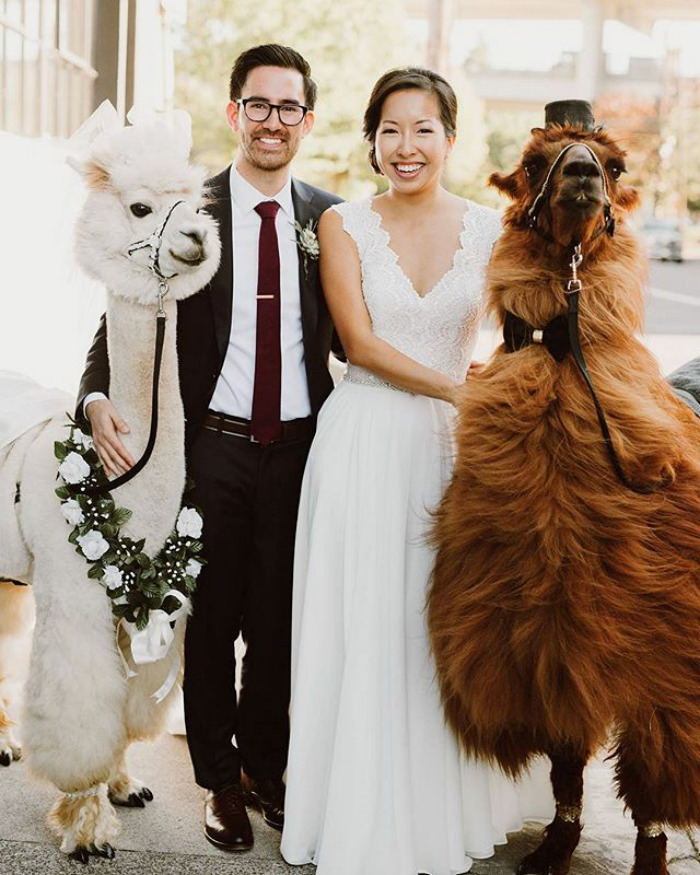 Want to surprise your friends at your wedding? Invite some llamas!