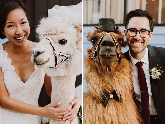 And not just any llamas, they're pros when it comes to weddings and parties!
