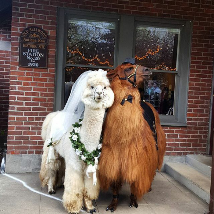 No, we're not joking. Thanks to Mtn Peaks Therapy Llamas & Alpacas you can now actually have llamas at your wedding.