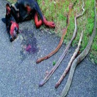 This Doberman Kills 4 Cobras To Save His Owner's Family…And Then...