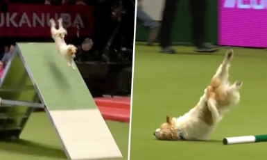 Olly The Face-Planting Jack Russell Was The Real Winner At Crufts