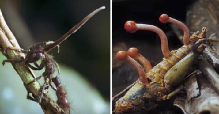 11. There's a zombie fungus that basically enslaves ants for its own benefit until it kills them.