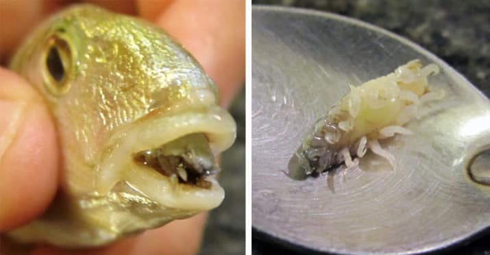 5. There is a parasite that destroys the tongue of a fish and then replaces the tongue with its own body.