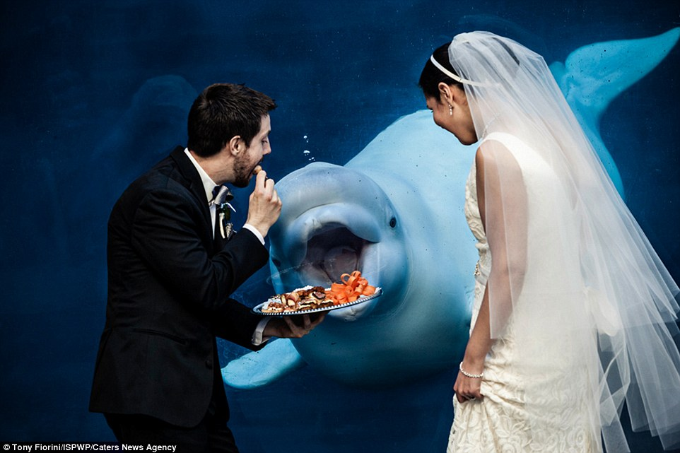2. Beluga whale who seems interested in the couple's wedding platter.