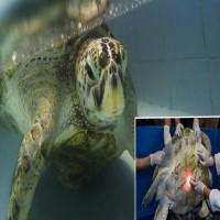 'Piggy Bank' Sea Turtle Tragically Dies After Ingesting Something Shocking