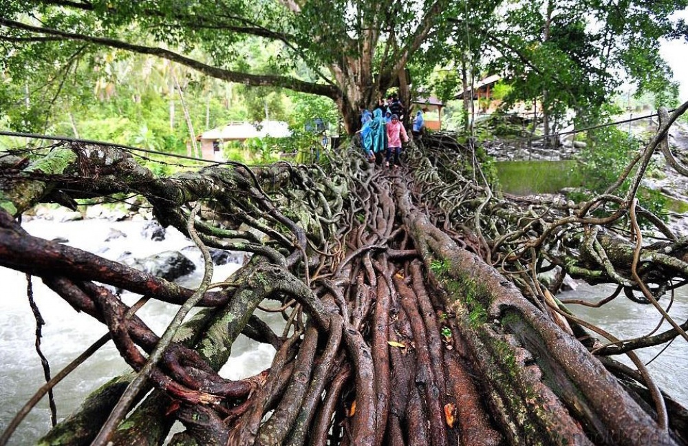 A bridge made from tree roots, Indonesia