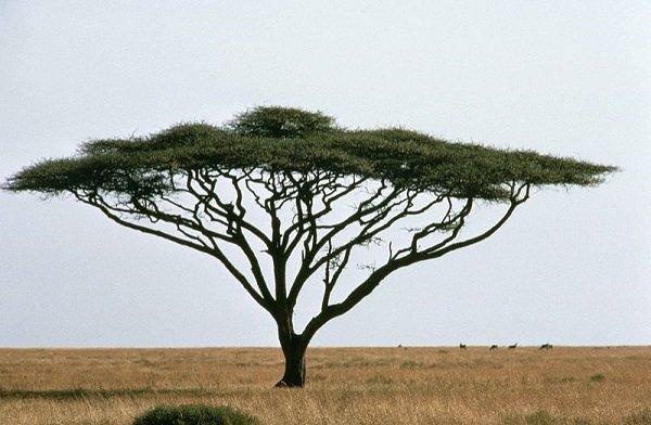 Vachellia Species, African Acacia