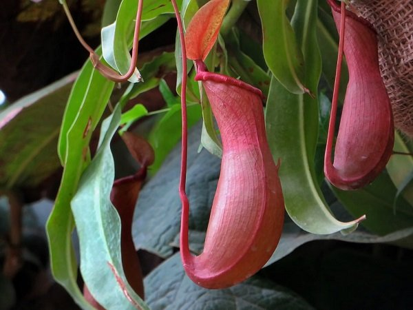 Nepenthes, Tropical Pitcher Plant