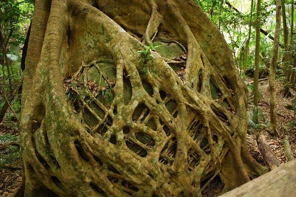 Ficus, Strangler fig