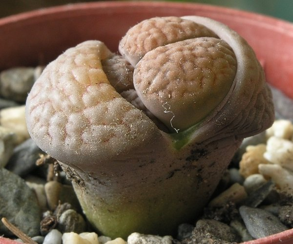 Lithops, Living stone