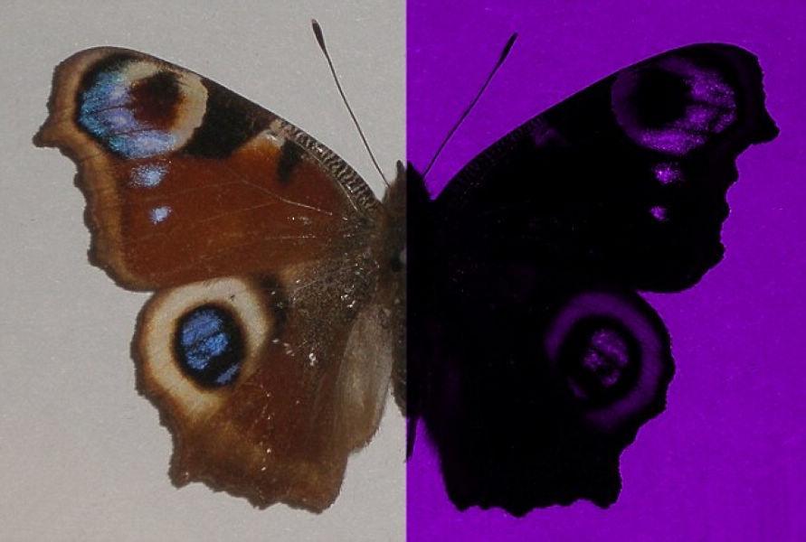 Human vs butterfly
