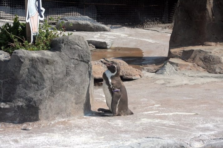 But Midori left Grape — who now is 20 years old — for a younger penguin. Since being dumped, Grape has drifted further and further away from the group.