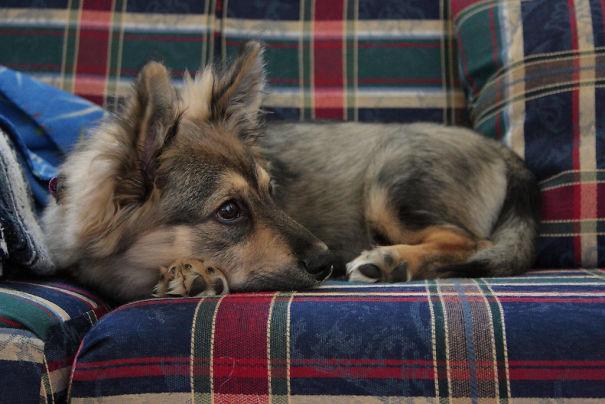 Corgi + German Shepherd
