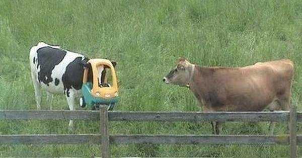 Even cows have bad days too.