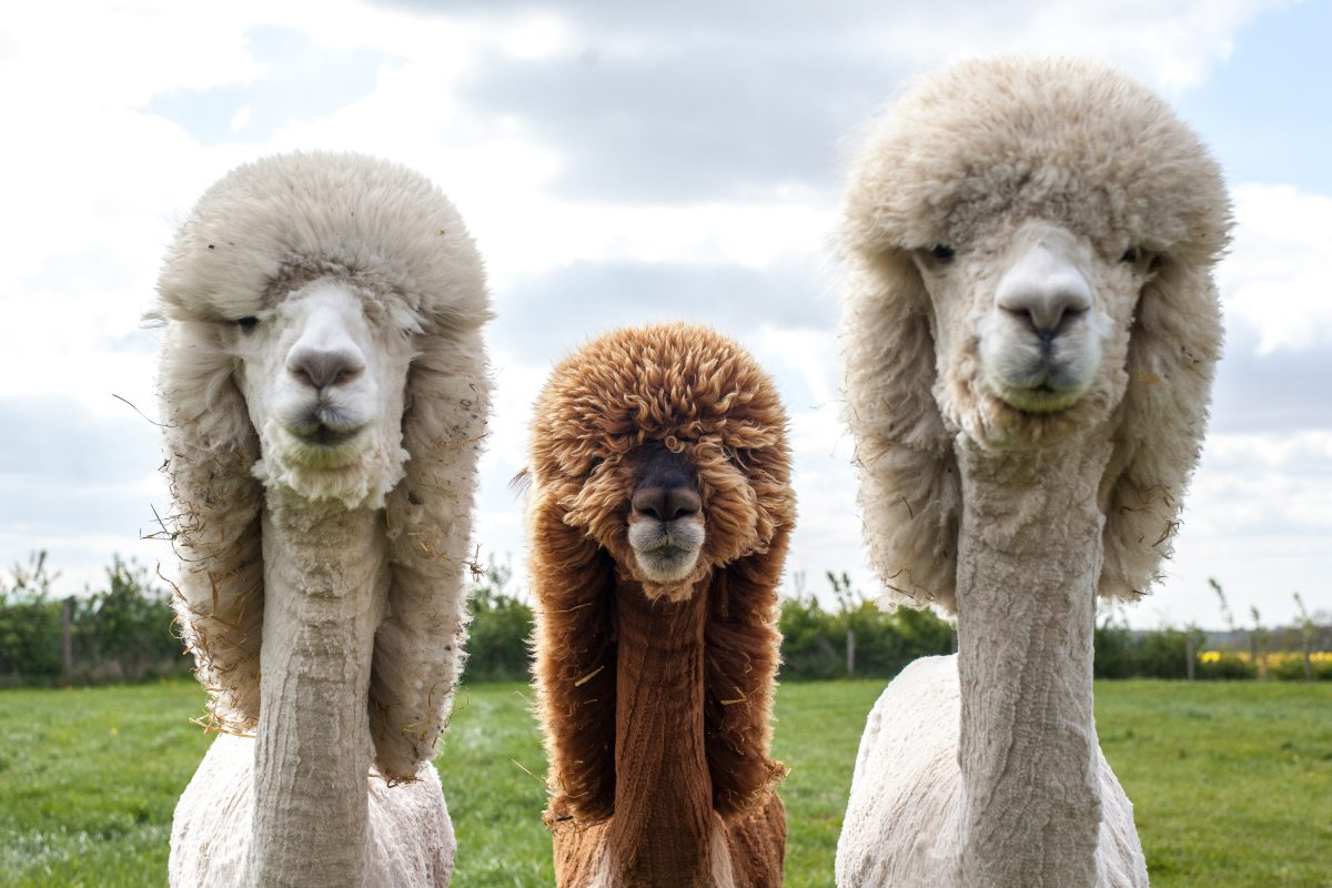 These alpacas just had a fresh haircut and they look like shear (ahem) unbridled joy now.