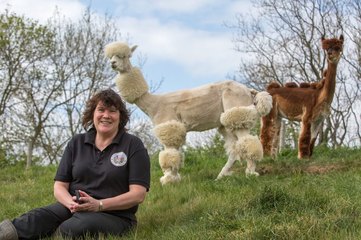 Meet Helen Kendall Smith: the best British alpaca hairdresser. Helen, a 53-year-old mum-of-three from Cirencester, Gloucestershire, cut ten of her 30-strong flock's locks to celebrate her tenth year of breeding the alpacas at Kensmyth Alpaca Stud.