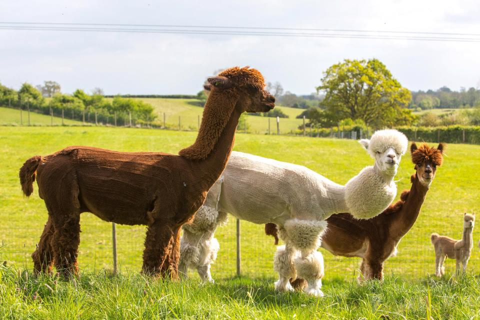She fashioned one alpaca to look like a poodle, gave others a mohawk and a stripey coat. One lucky winner even got a pre-historic makeover when Helen sheared him in the style of a dinosaur.