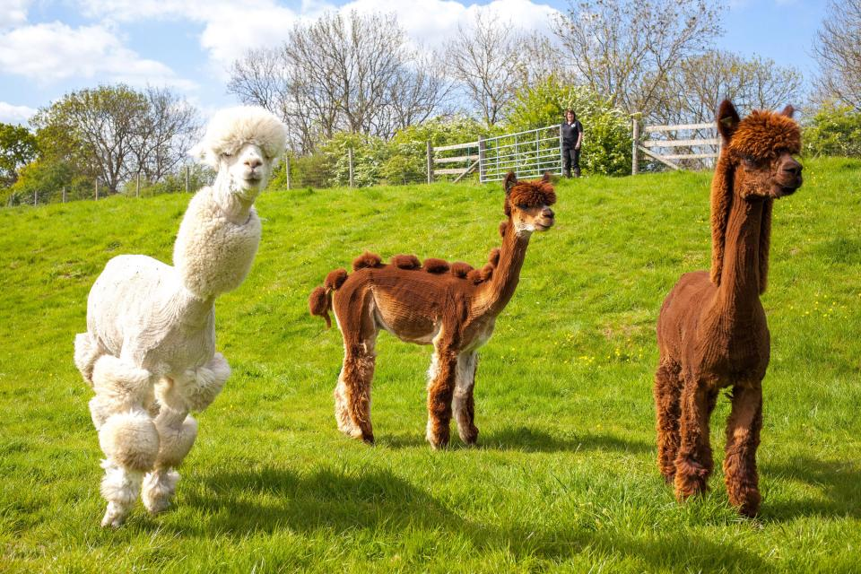 In case you didn't know, alpacas – animals native to South America and closely related to the llama – need shearing every year because their thick fur can grow too long and cause the animals undue distress.