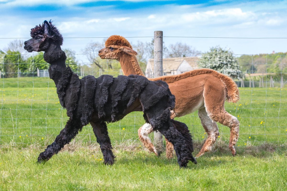 However, shearing is a difficult process, so one alpaca farmer decided to inject some fun, flair and style into proceedings.