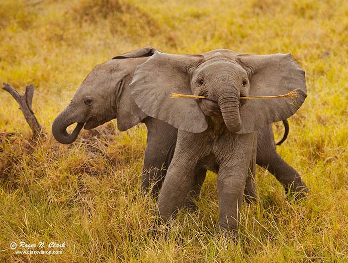 #13 Elephant fetch!
