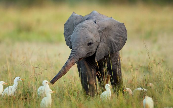 Elephant babies, or calves, are usually born at about 250 pounds and 3 feet tall.