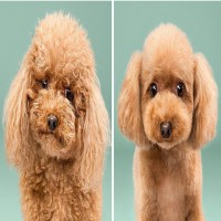 17 Pictures Of Dogs Before And After Haircut Will Make You Say Aww...