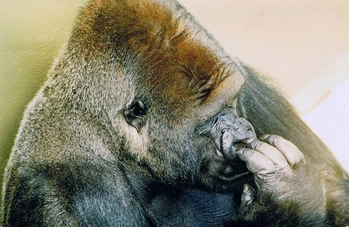 Jambo The Gorilla