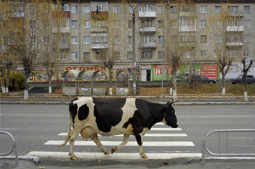 9.A cow, in the middle of the street?